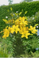 lily bulb Yellow Cocotte