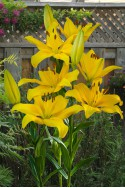 lily bulb Yellow County