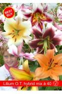 lily bulb O.T. Hybride mix 40 bulbs
