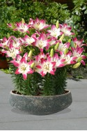 lily bulb Lollypop